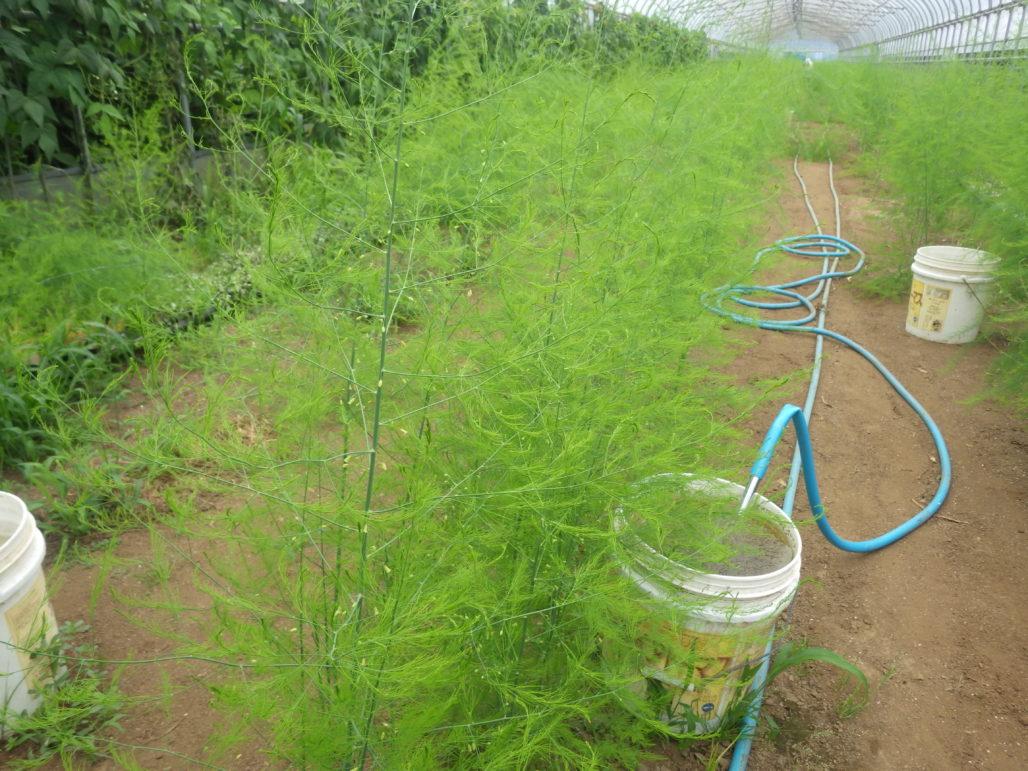 白井エコクラブ 中村さんの畑11