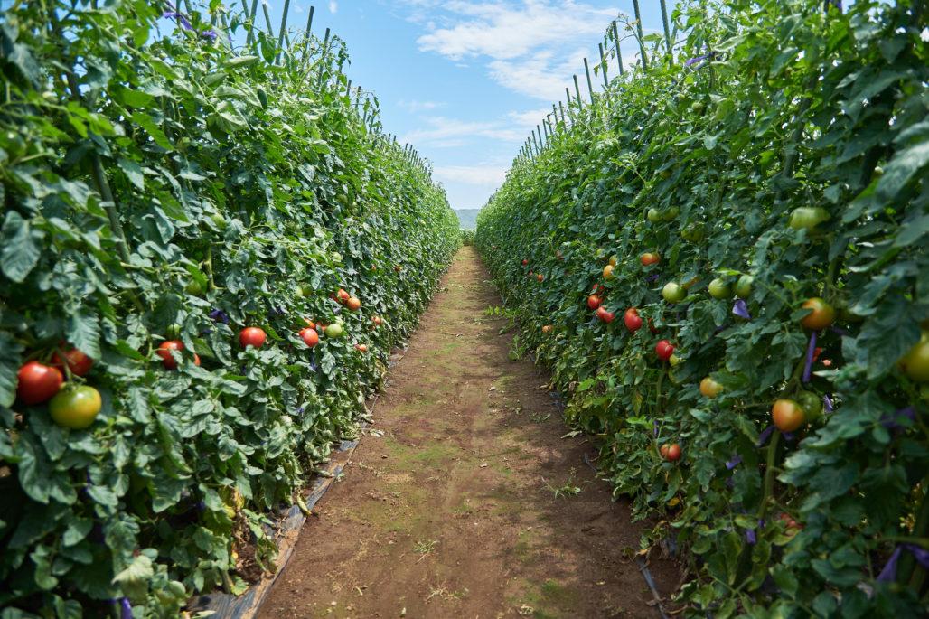 嘉山農園トマト