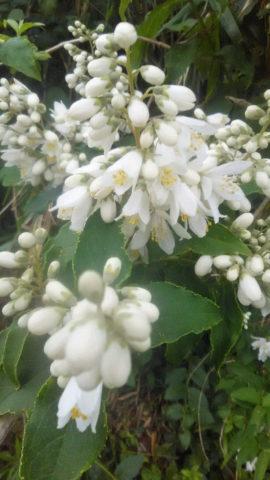 三芳村蛍まい研究会 卯の花