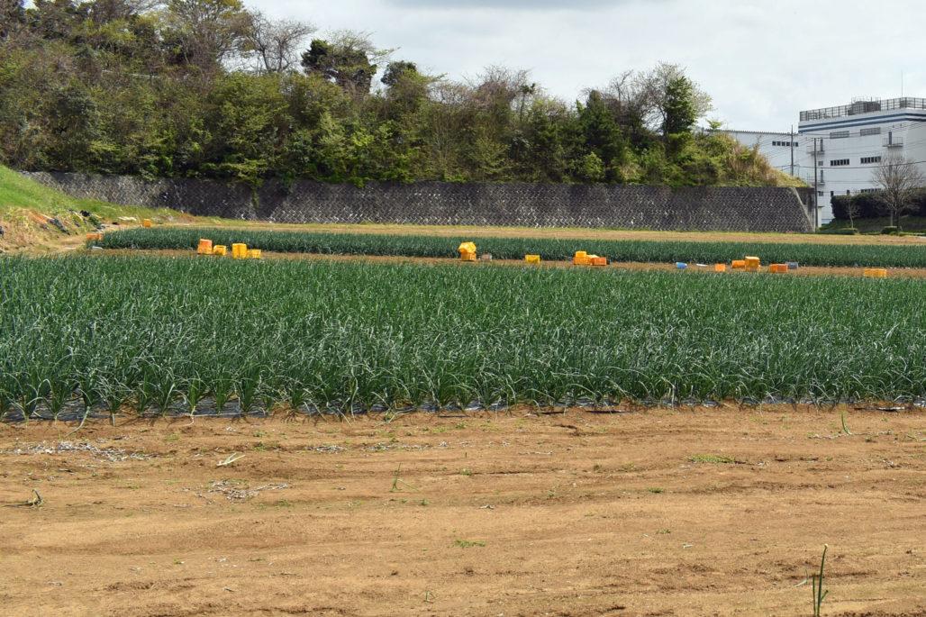 大原農園玉ねぎ畑
