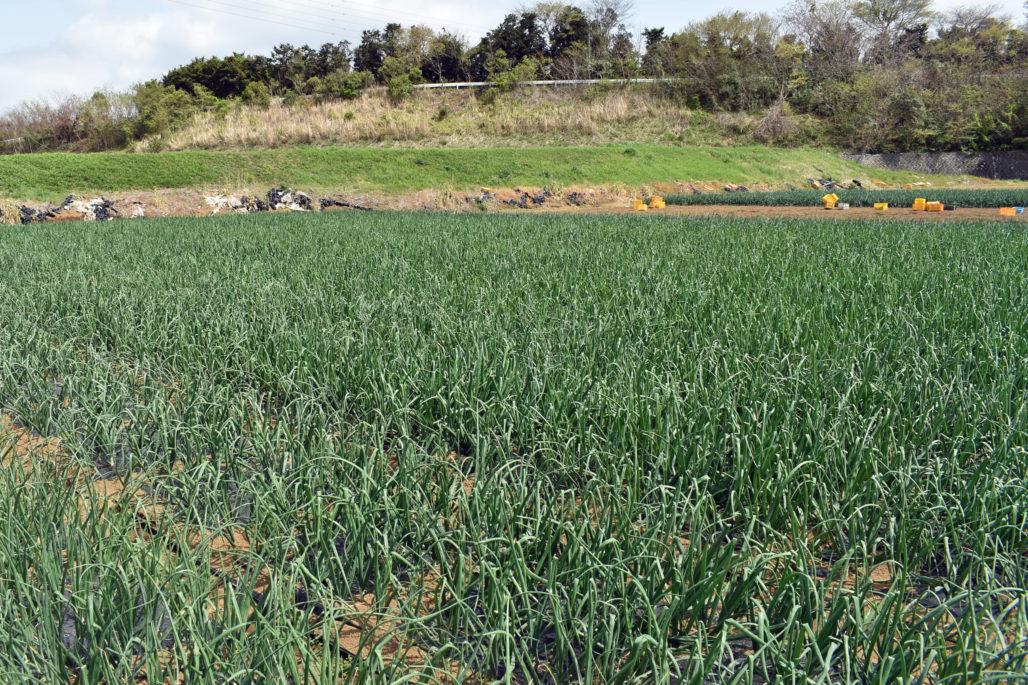 大原農園玉ねぎ畑2